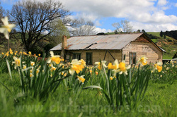 Wetherstons,Lawrence,South Otago,daffodils