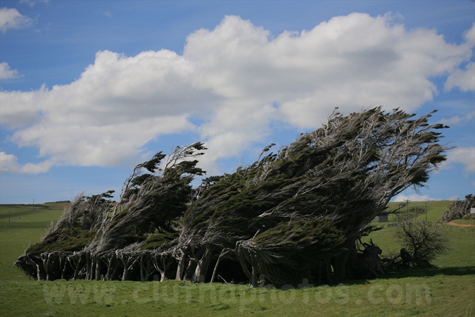 Tortured trees,Slope Point,Catlins,Southland